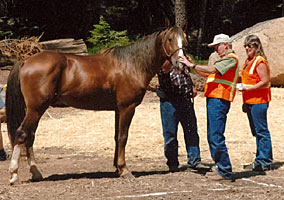 Prime Sensation at the Tevis Cup check-in 2006... click to see a closer view of this champion!